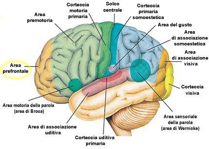 Peculiarità Neuro-Funzionali del Cervello Plurilingue
