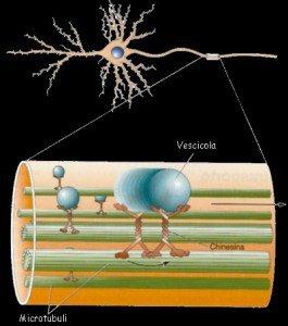 Neurone e trasporto assoplasmatico
