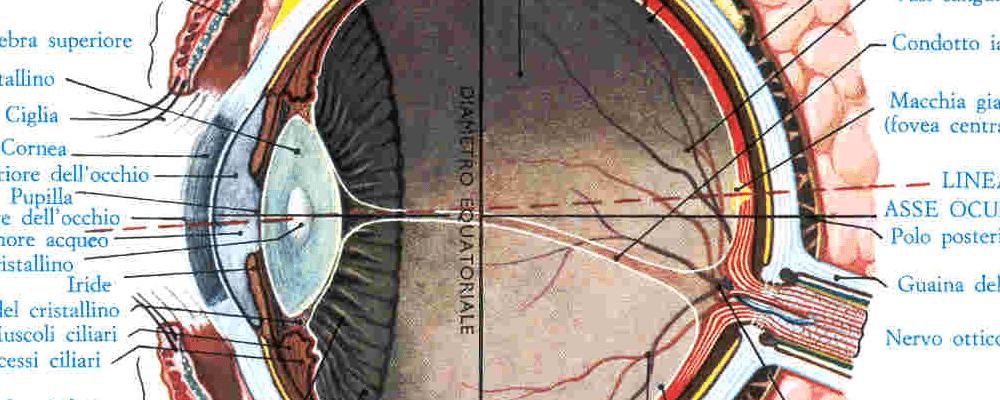 Neurofisiologia dell'occhio umano