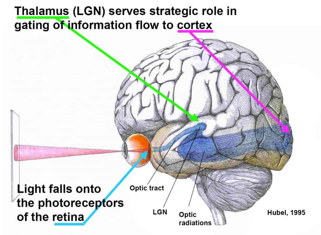 Le Basi Neurofisiologiche del Visual Training