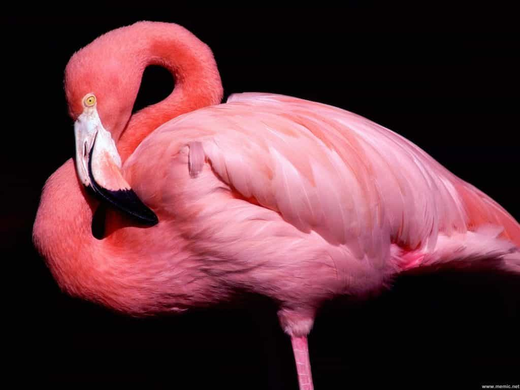 La Vascolarizzazione e l'Innervazione Cefalica  del Fenicottero Rosa