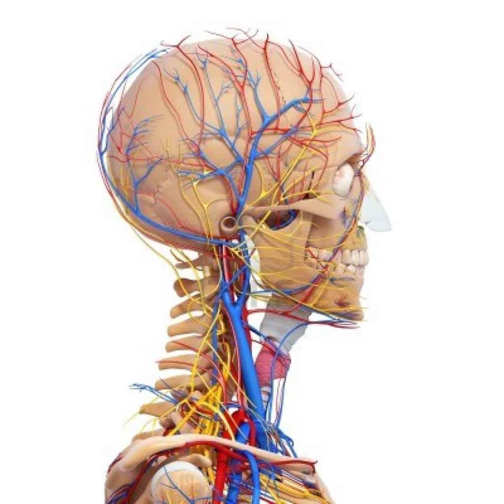 Il Sistema Nervoso dell'Uomo