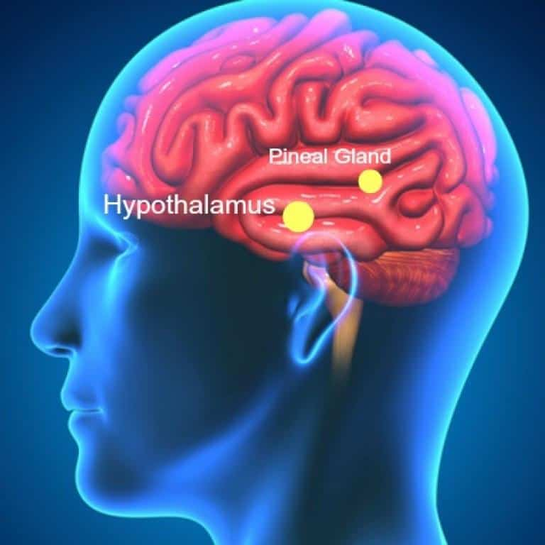 La ghiandola pineale, splendida connessione tra cervello e anima