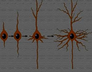dal neuroblasto al neurone