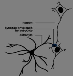 Rappresentazione di astrocita (nero) e neuroni (bianco/nero)