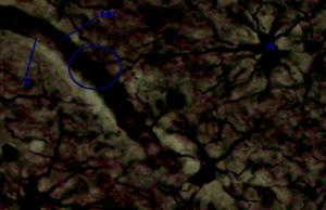 Un astrocita con un prolungamento verso un vaso sanguigno