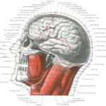 I Tre Cervelli in Grafologia