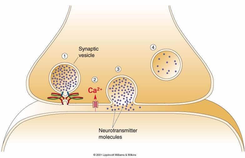 Sinapsi e Trasmissione Sinaptica